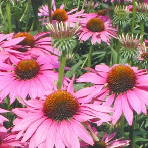 astrological signature: Echinacea